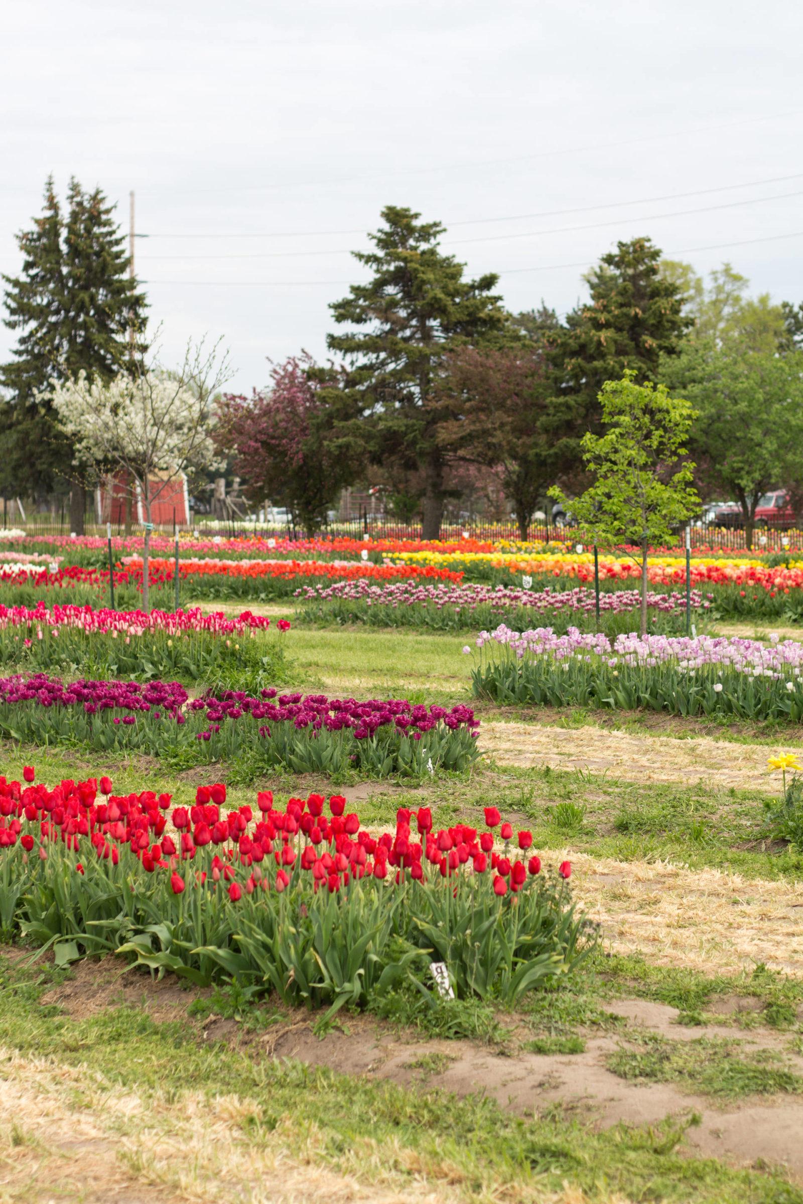 Veldheer's Tulip Garden | Tulip Time | Holland, MI